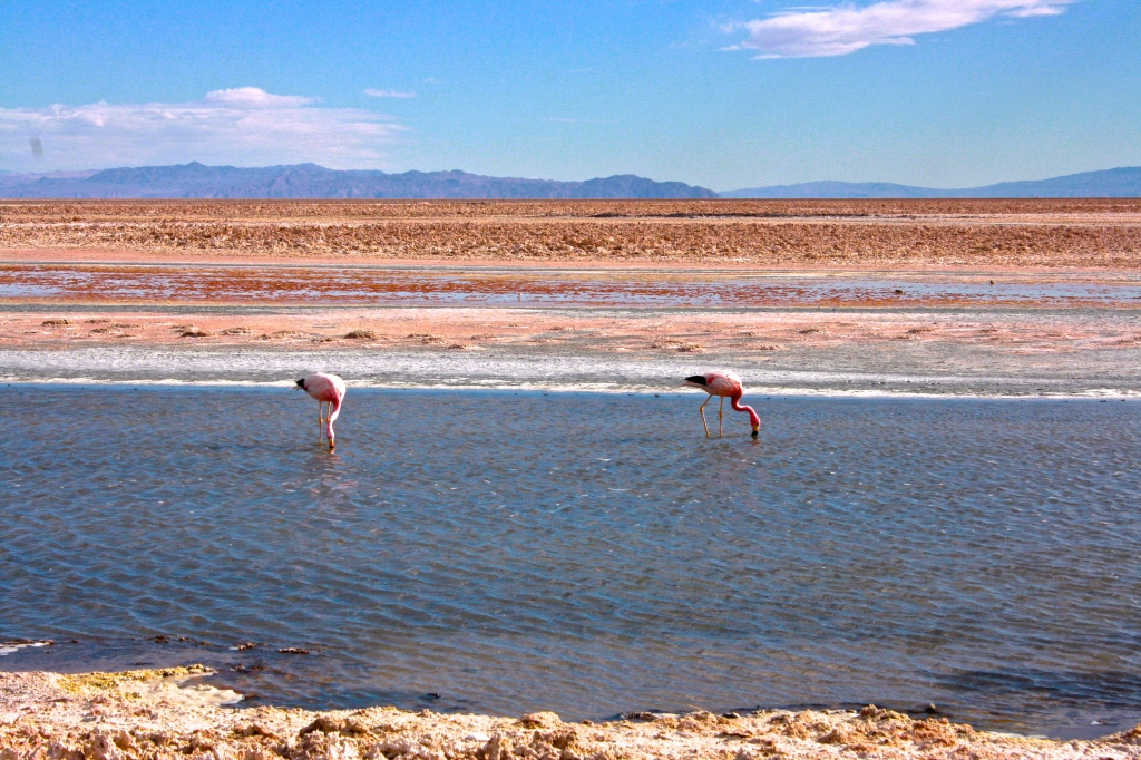 "Flamencos in the Chilean salt flat or ""Salar de Atacama"""