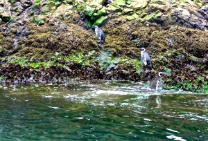 Penguins in Chiloe