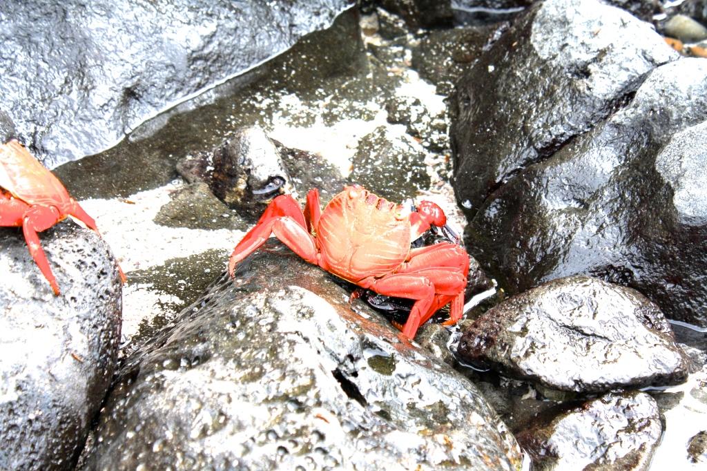 Galapagos Ecuador crab